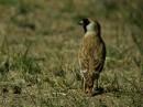 Birding tour Mongolia 2015 | Père David\'s snowfinch