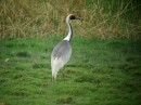 Birding tour Mongolia 2015 | White-naped Crane