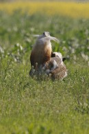 Bird photo tours Hungary | Great Bustard Photography Hide