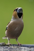 Bird photo tours Hungary | Hawfinch