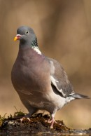 Wood Pigeon | Bird photography tours Hungary