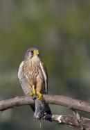 Common Kestrel (Falco tinnunculus) photo by Alex Labhardt