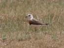 Birding tour Mongolia | Oriental Plover