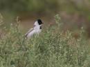 Birding tour Mongolia | Pallas\'s Reed Bunting