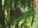 Birding tour Mongolia | Ural Owl