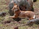 Ethiopian Wolf|Birding tour Ethiopia