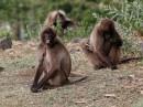 Gelada Baboon|Birding tour Ethiopia