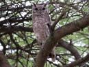 Greyish Eagle Owl|Birding tour Ethiopia
