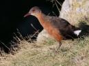 Rouget\'s Rail|Birding tour Ethiopia