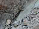Snow Leopard and the amazing wildlife of Mongolia 2018