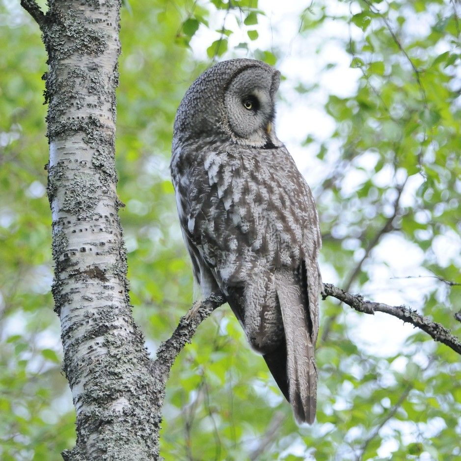 Great Grey Owl|birdwatching eastern europe, birding tours eastern europe