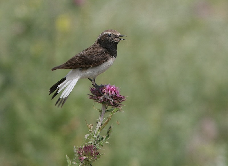 pied wheatear | Birding tours  in Romania