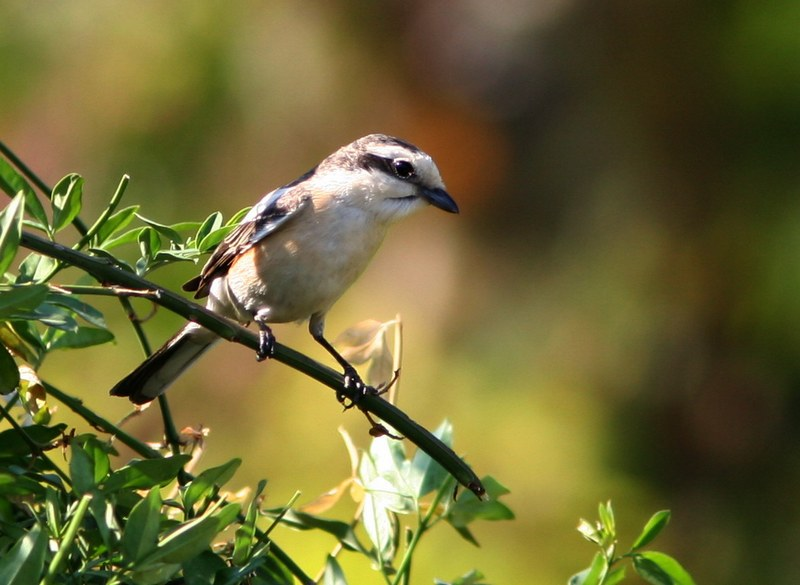 masked shrike | Birding tour Turkey