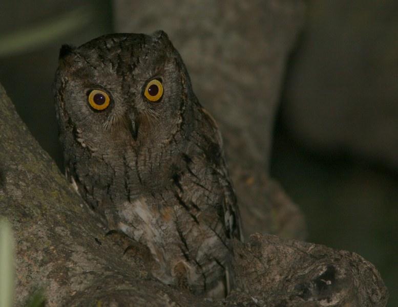 scops owl | Birding tour Turkey