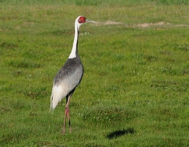 White-naped Crane| Birding tour Mongolia