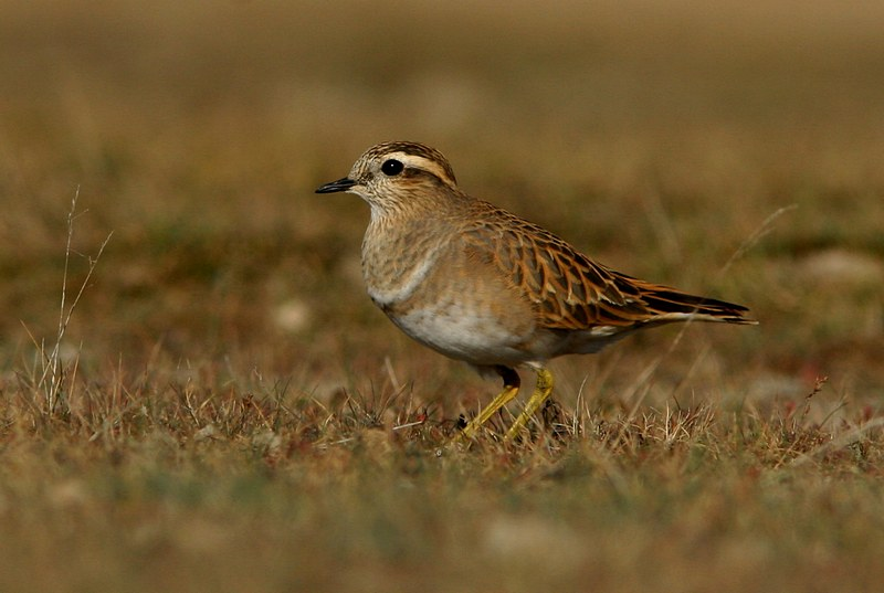Dotterel| Birding tour Hungary Autumn