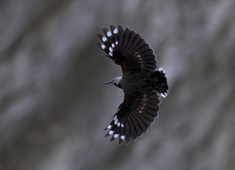 Wallcreeper| Birding in Hungary Winter