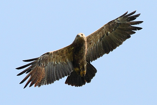 lesser spotted eagle | Birding tour Hungary Autumn