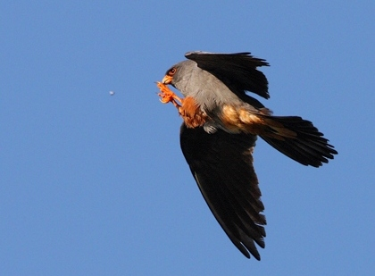 Red-footed falcon| Birding tour Hungary Autumn