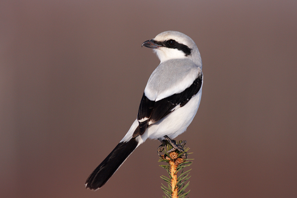 great grey shrike| Birding in Hungary Winter