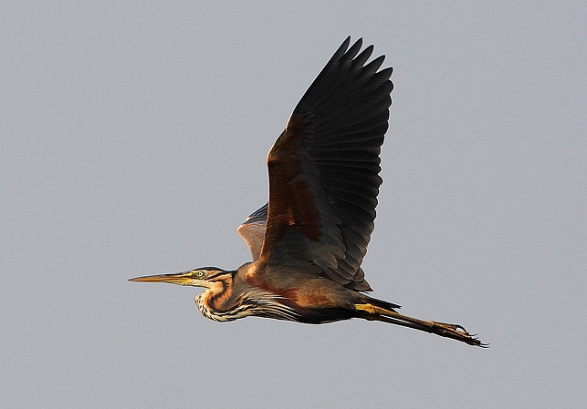 purple heron | Birding tour Hungary Autumn