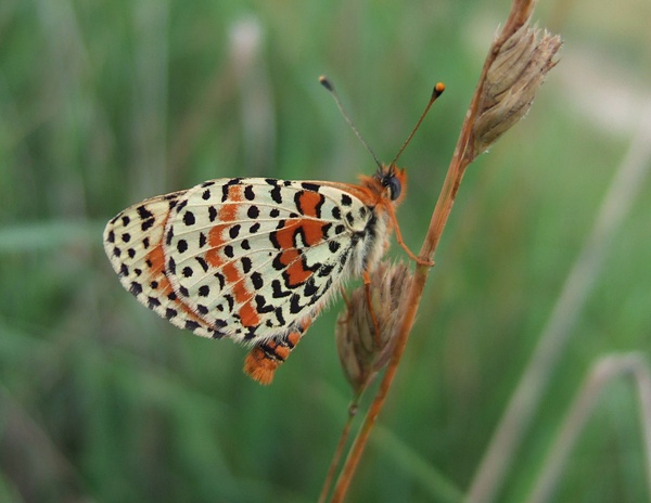 Spotted Fritillary| Butterfly holidays Hungary