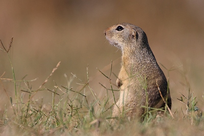 Souslik| Mammal watching Holiday Hungary