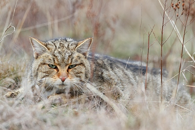 Wild cat| Mammal watching Holiday Hungary