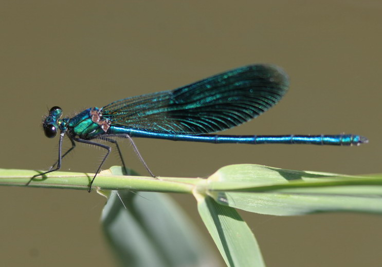 beautiful Demoiselle| Butterfly holiday Hungary