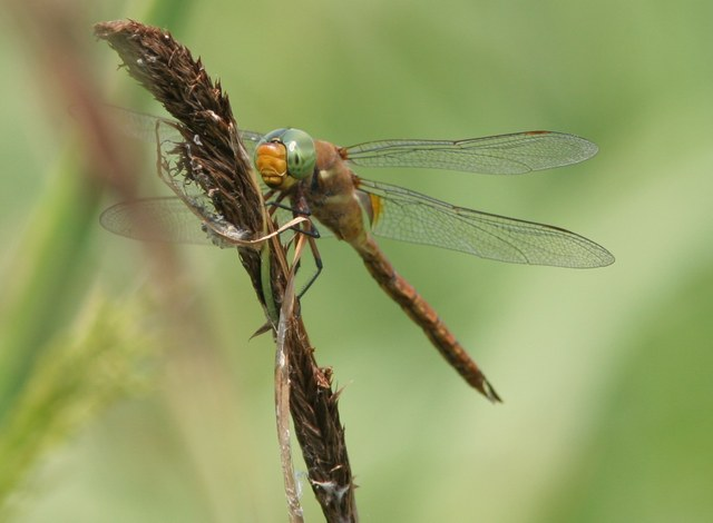 Norfolk Hawker| Butterfly holiday Hungary