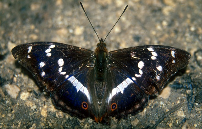 Purple Emperor| Butterfly holiday Hungary