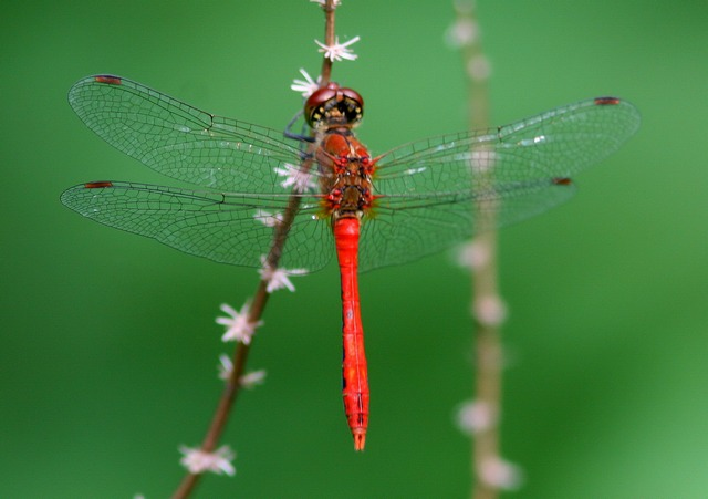 Ruddy Darter| Butterfly holiday Hungary