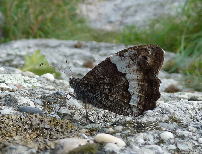 Woodland Grayling| Butterfly holiday Hungary