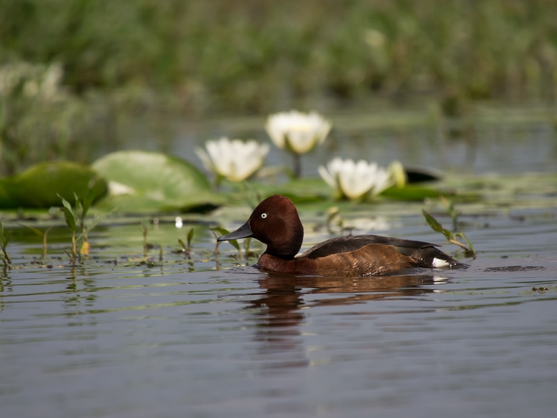 Ferriginous Duck | Bird photography tours Hungary