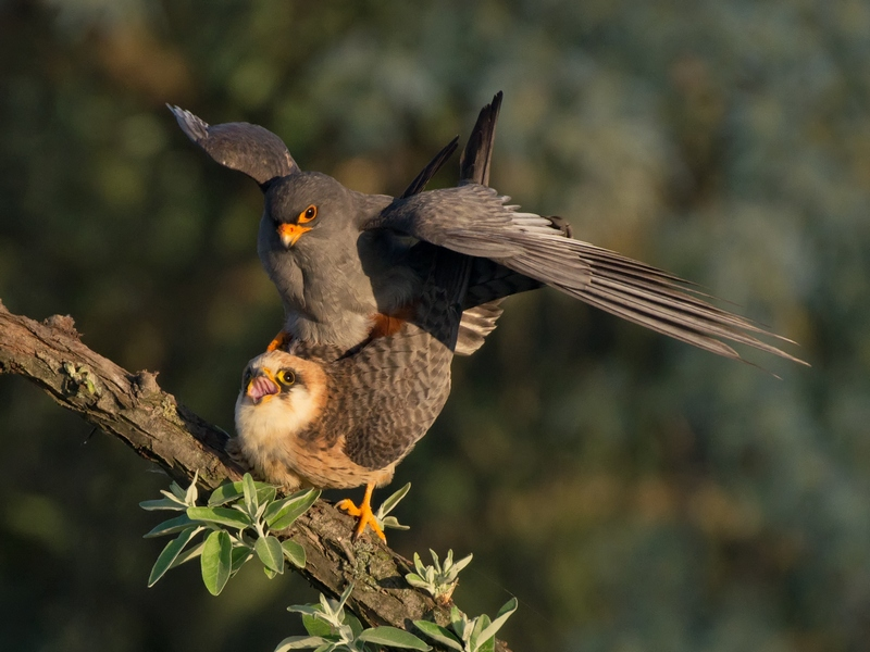 Red-footed Falcon at the tower hide | Bird photography tours Hungary