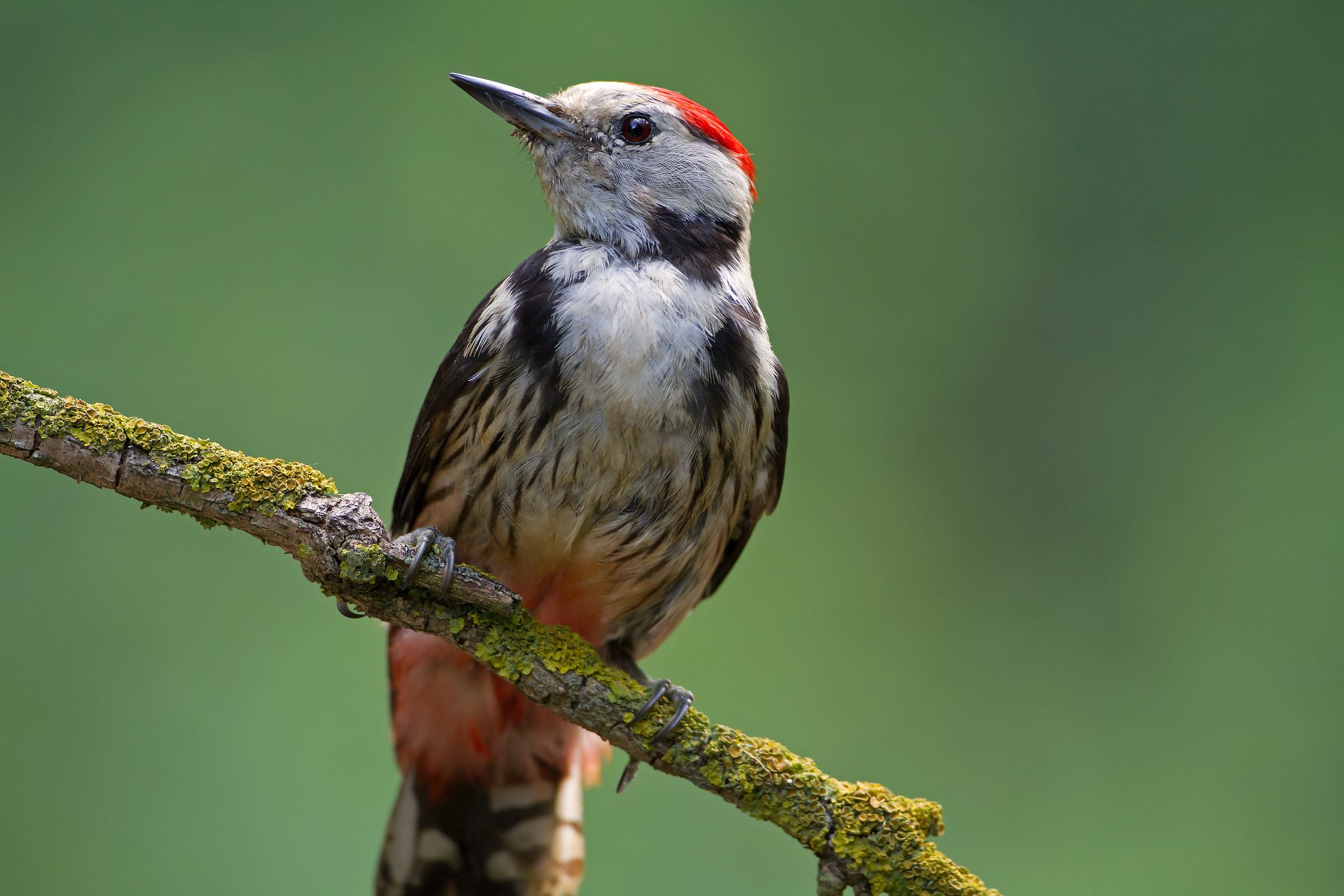 Middle spotted Woodpecker by Mark Curley | Birding in Hungary