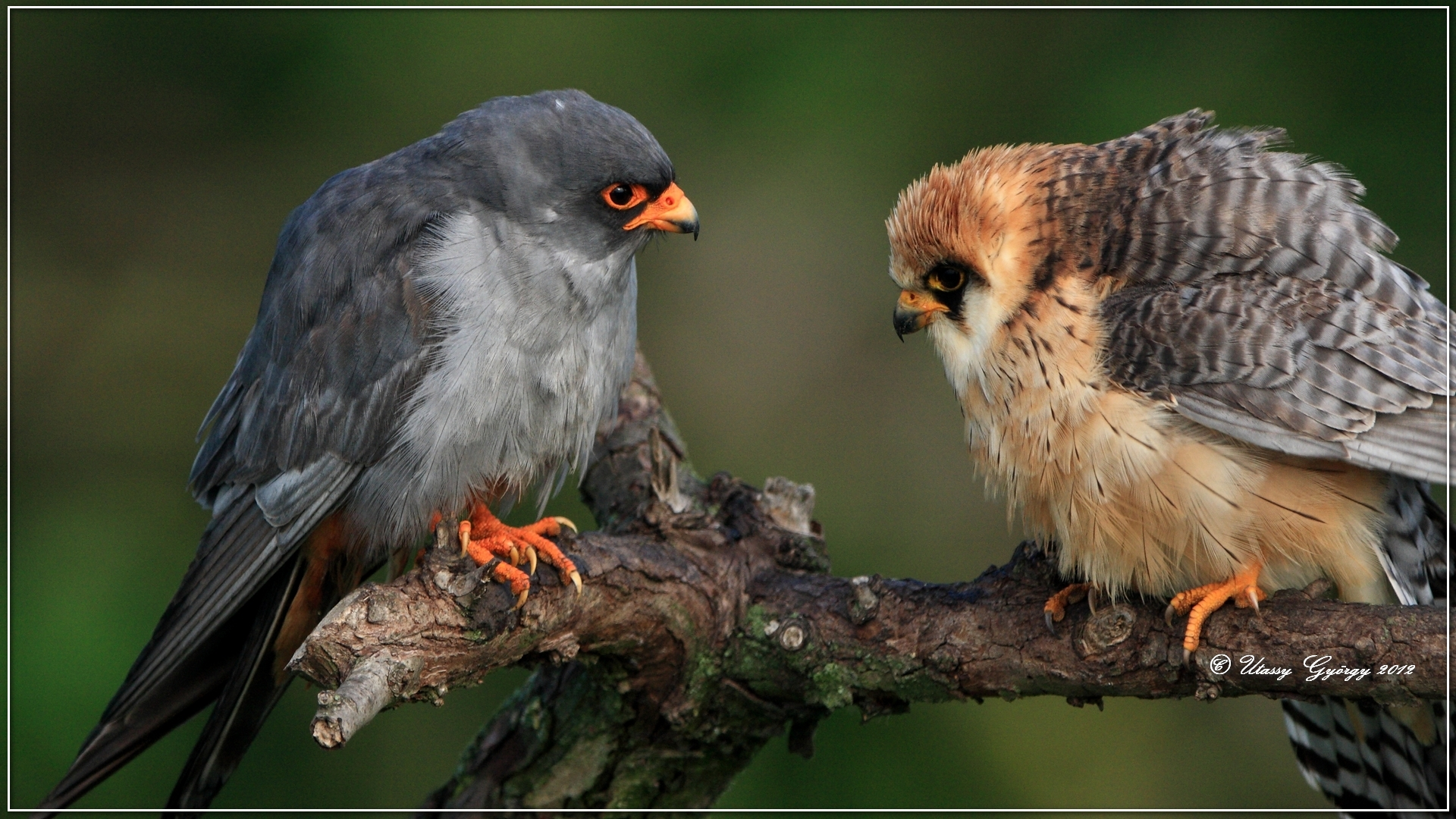 Red-footed Falcons | Birding in Hungary