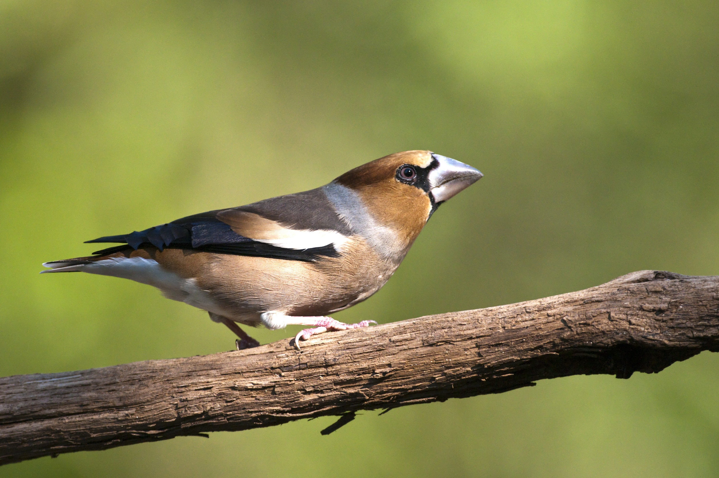 Hawfinch  by David Plummer | Birding in Hungary