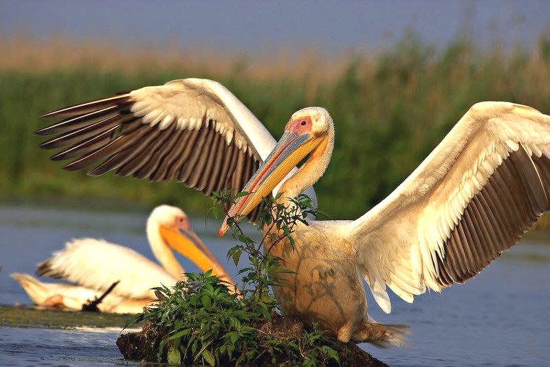 white pelican  | Birding tours  in Romania