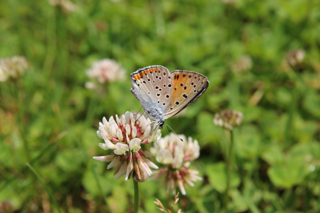 Butterflies | Wildlife Holiday Croatia Slovenia