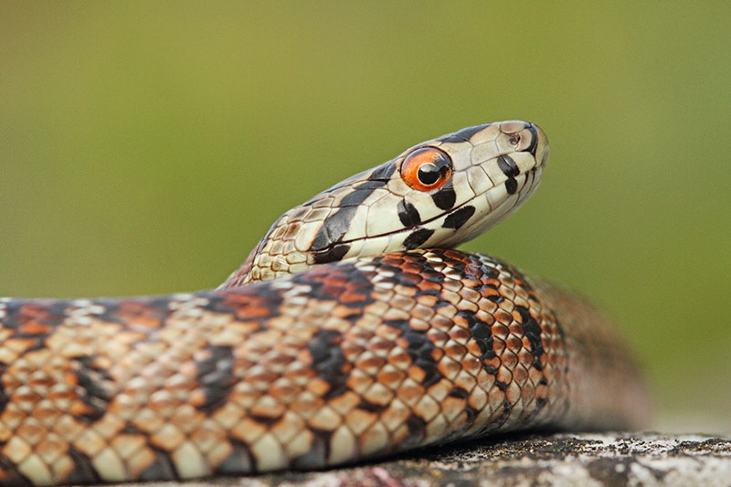 Europian Ratsnake |  Wildlife Holiday Croatia Slovenia
