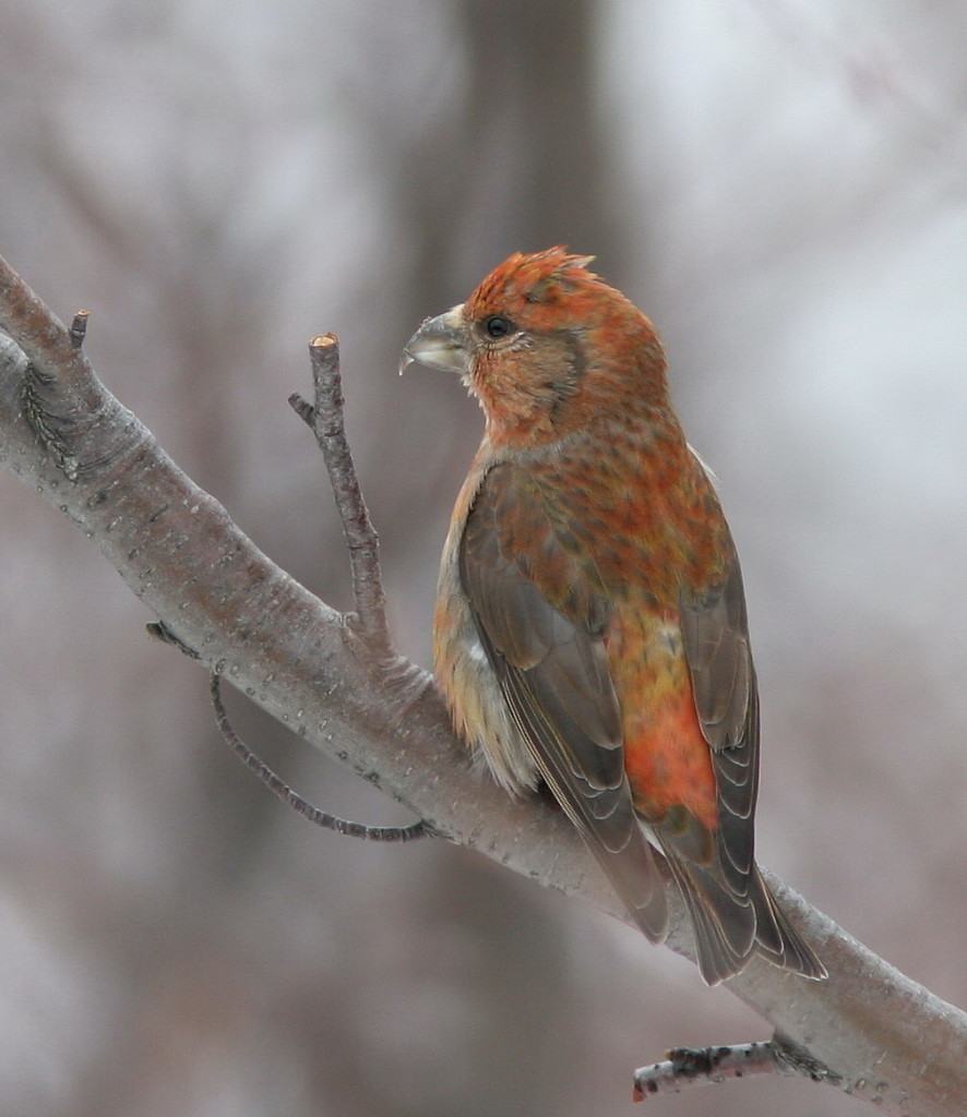 Crossbill | Wildlife Holiday Croatia Slovenia
