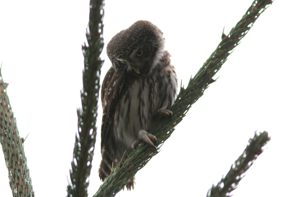 Pygmy Owl  | Wildlife Holiday Croatia Slovenia