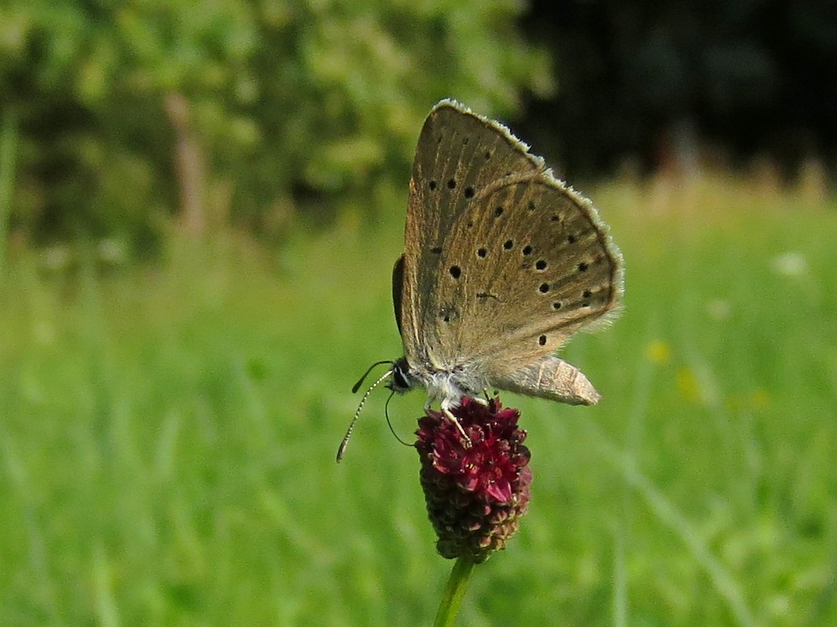 Butterfly tour Slovenia | Scarce Large Blue