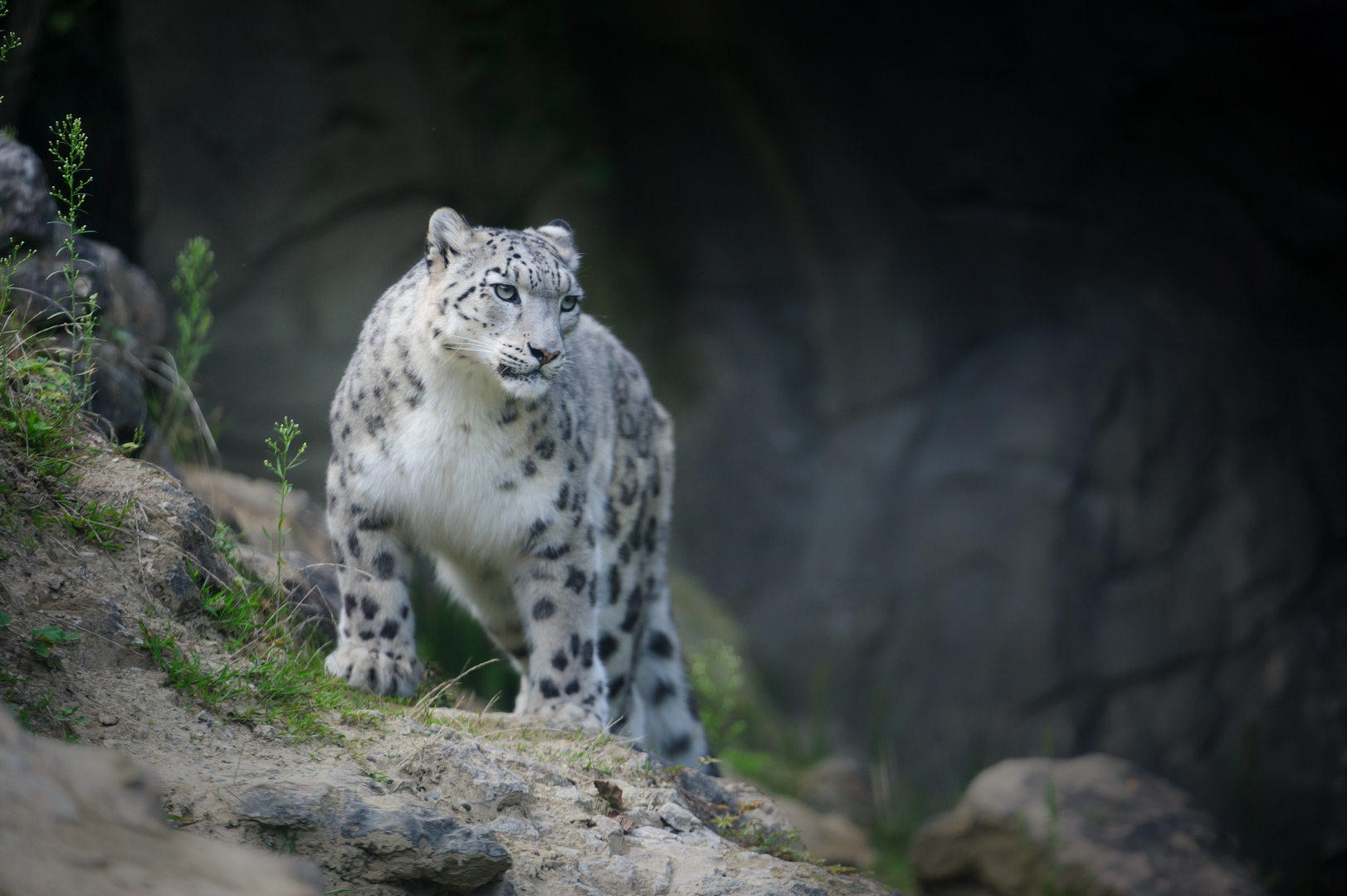 Snow Leopards And Birds Ecotours Wildlife Holidays