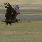 Black Vulture Mongolia